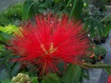 CALLIANDRA RED FIRE