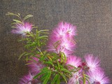CALLIANDRA BLUSHING PIXIE