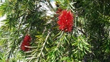 CALLISTEMON CAPTAIN COOK
